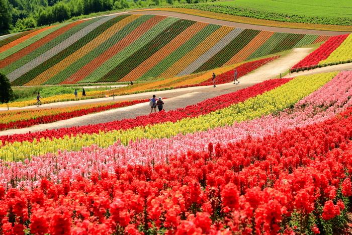 色とりどりの花畑が帯状に広がっている様は、七色の虹が地上に舞い降りたかのようです。
