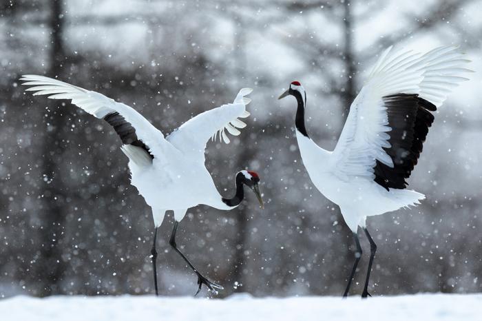 鶴居伊藤サンクチュアリでは、釧路湿原に生息するタンチョウ鶴を見ることができます。大きな翼を広げながら雪原を舞うタンチョウの美しい姿は、まるで雪の精のようです。
