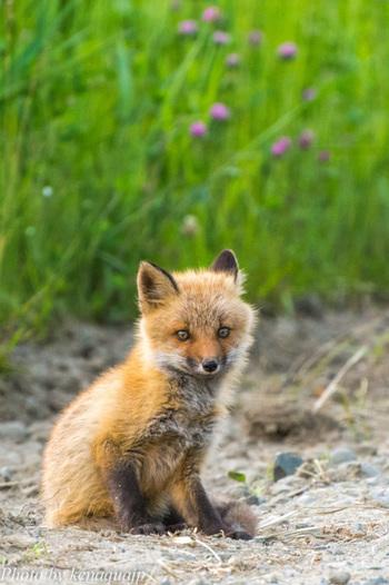 釧路湿原に生息するのは、野鳥だけではなく、キタキツネなどの北海道ならではの野生動物が数多く棲んでいます。運が良ければ、キツネの子に出会えるかもしれませんね。