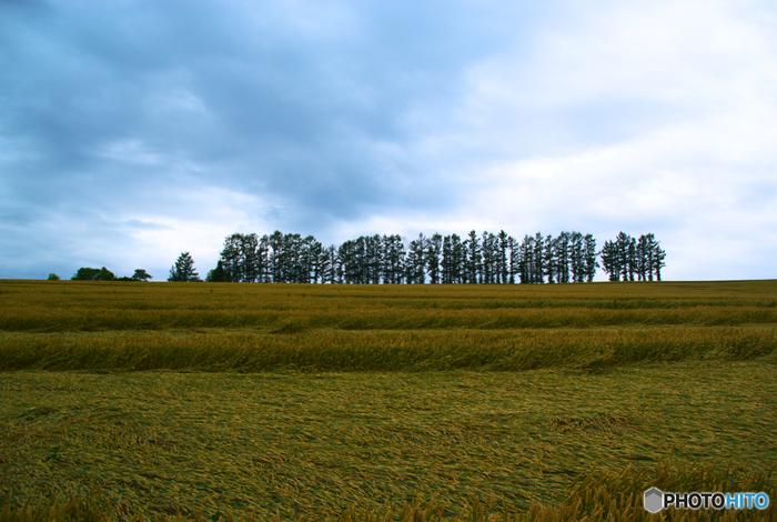 地平線が見えるほど広大な丘陵地帯に並ぶカラマツ林は、マイルドセブンのCMが撮影されたことにちなんで「マイルドセブンの丘」と呼ばれています。