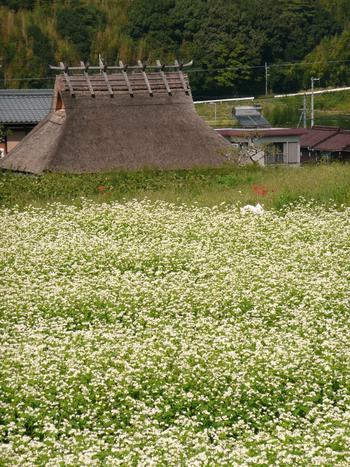 そして、神戸市北区は日本でも有数の茅葺家屋の保存地区でもあります。 そんな光景を横目で見物したり、なんと茅葺のお家をそのままお店にしていることろもあるんです!