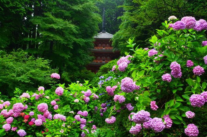 """ひっそりとした小さな寺院でも""""あじさい寺""""として名高く、名所の一つに数え上げられる人気スポットです。三重塔や鐘楼といった堂宇、山の緑、紫陽花が織りなす景色は、「岩船寺」ならではの格別の眺めです。"""