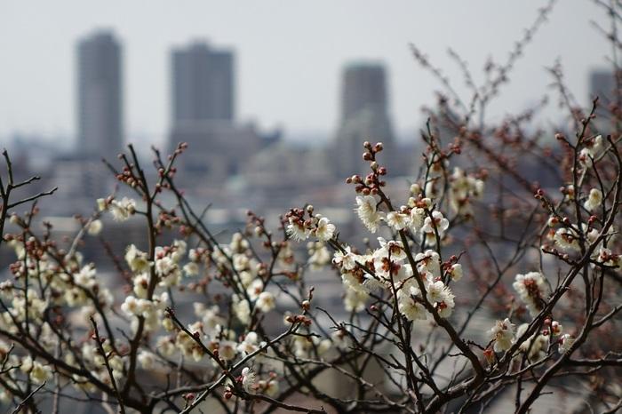 「梅は岡本、桜は吉野、みかん紀の国、栗丹波」と詠われ、古来から梅林の名所として知られている岡本。なんと羽柴(豊臣)秀吉も来訪したことがあるそうですよ。時代を経て荒廃した梅林を偲び、昭和50年(1975年)に保久良神社境内に梅林を植樹し、昭和56年に岡本梅林公園として再生した梅の名所です。