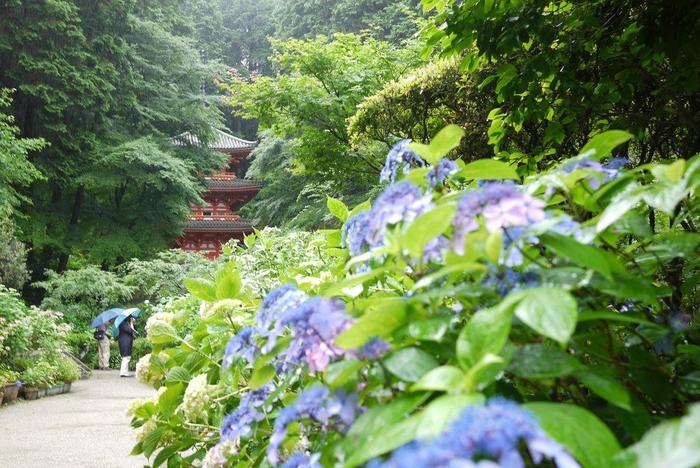 「三室戸寺(みむろどうじ)」は、茶どころで知られる宇治の山中にある古刹。古くから篤い信仰を集めてきた西国観音霊場一つです。ツツジと紫陽花の名所としても良く知られる、関西屈指の人気のスポットです。