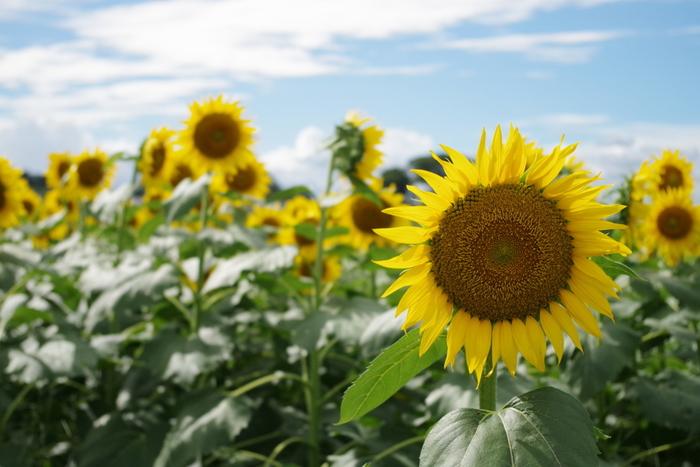 広大な青空に黄色い花がよく映えます。期間中は、近隣の農地で採れた新鮮野菜や切り花などの販売も行います。 ※お問い合わせは清瀬市役所のホームページまで。