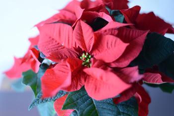 クリスマスフラワーとも呼ばれるポインセチアの花言葉は「祝福する」「聖なる願い」「清純」「私の心は燃えている」。結婚のお祝いにもふさわしいお花なんですね!実はこの赤い部分は花ではなく葉っぱなんです。お花は、真ん中の点々の部分なんですよ。