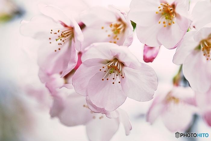 日本では春の花の代名詞とされる桜。満開に咲き誇るその姿はとても美しく、気品にあふれています。そんな桜の花言葉は、「あなたの微笑み」「心の美しさ」「潔白」「優美な女性」。