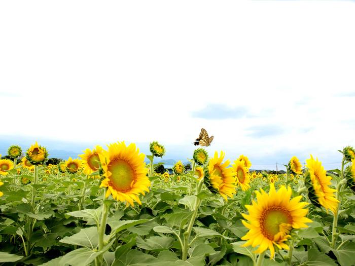 「私はあなただけを見つめる」「愛慕」「崇拝」という花言葉をもつ、ひまわり。これは、生長しているひまわりは、太陽の方を追って動くため。元気いっぱいのイメージのひまわりにパワーをもらえそうです。