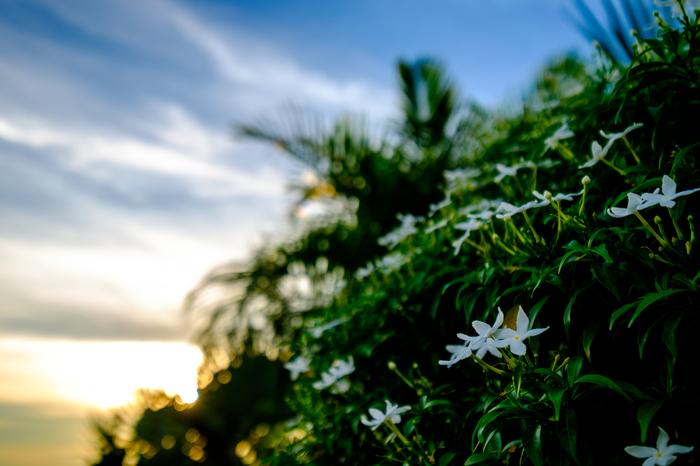 """ジャスミン全般の花言葉は、「あなたは私のもの」「愛想のよい」「優雅」「愛らしさ」「官能的」。ここで、""""優雅な""""美しさと裏腹の""""官能的""""という花言葉に「おや?」と思った方も多いはず。"""