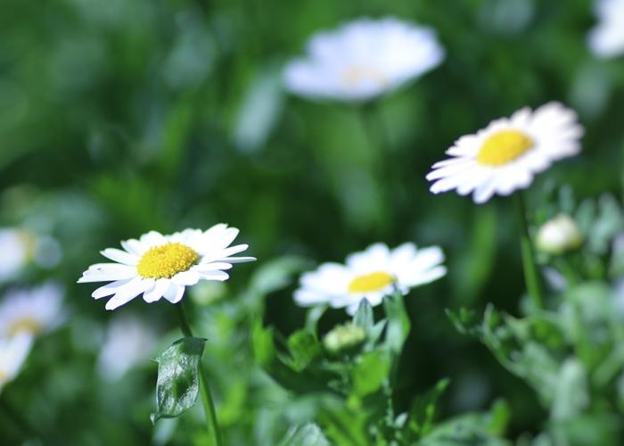 マーガレットといえば恋占いの花として知られています。花びらを「好き、嫌い……」と一枚ずつ摘み取っていく少女の姿が思い浮かびますね。花言葉にも「真実の愛」のほかに、「恋を占う」や「予言」という意味も。清楚なマーガレットのイメージから「心に秘めた愛」という花言葉も有名。