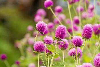 センニチコウ(千日紅)は、その名の通り夏から秋まで咲き続けていたり、ドライフラワーとしても使われる、長く楽しめるお花。その花言葉にも、「変わらぬ愛」「不朽」「変わらない愛情を永遠に」といった長く続く幸せへの願いが込められています。