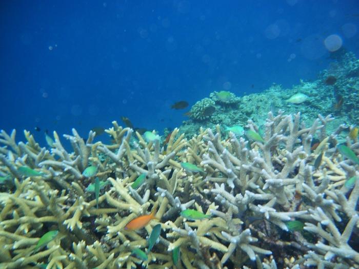 八重干瀬の海の中には、樹が枝を広げたような珊瑚がどこまでも続いています。色とりどりの珊瑚の周りには、美しい熱帯魚達が泳ぎ回り、まるで竜宮城に迷い込んだかのような気分を味わうことができます。