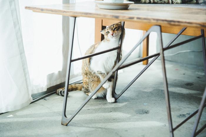 アトリエで気持ちよさそうにしている、3匹の猫兄弟「チャン・リン・シャン」のリン(2歳)。編み物をする渡部さんの膝の上が定位置なのだそう