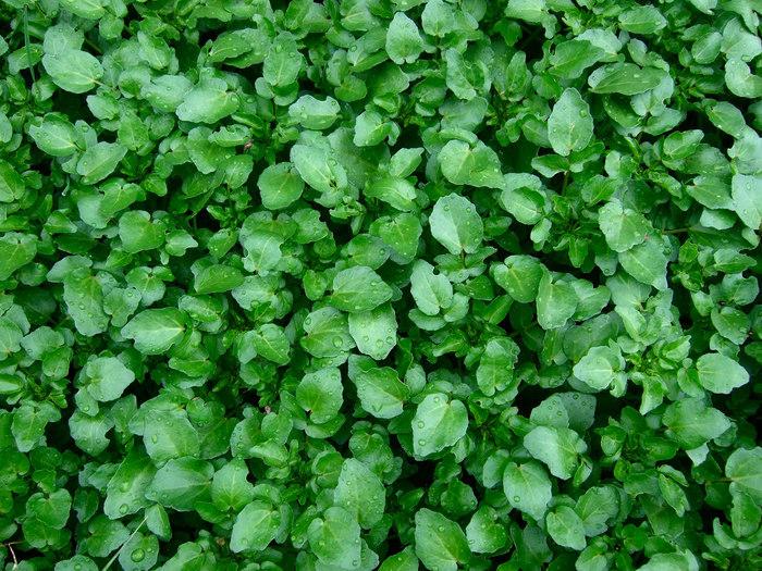 ヨーロッパ原産のアブラナ科の多年草。「クレソン」というのはフランス語の呼び名で、英語では「ウォータークレス」和名では「オランダガラシ」と言われています。
