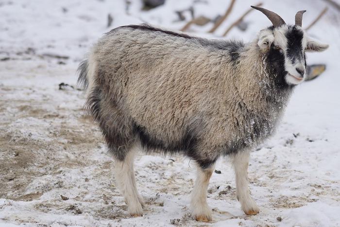 カシミヤ山羊の毛からつくられる「カシミヤ」は、非常に細く、美しい光沢感があります。