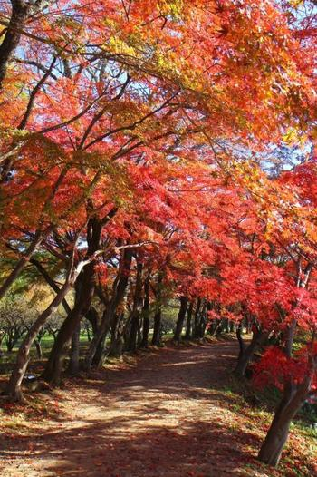 大沢池は周囲1km。紅葉のトンネルが続く遊歩道は、晩秋になると紅一色に。歩く度に眺めも異なり、湖面に映る景色も一幅の絵。平安期さながらの風景を味わうのなら「大沢池」はオススメ。