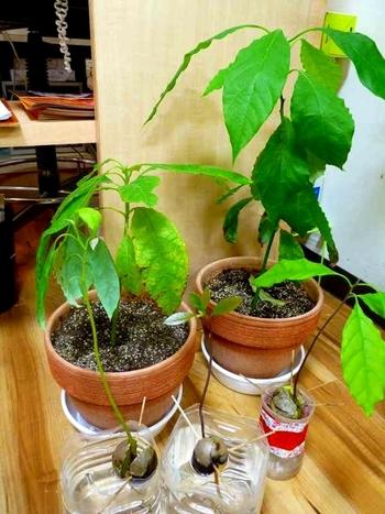 ぐんぐん伸びてきたらそろそろ鉢植えや地植えにしても。