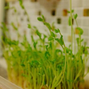 百均で売っているスポンジに種を撒き、水に浸しておくだけで大きくなる豆苗。グリーンインテリアにしてもかわいいですね。料理するときは必要な分だけ摘んで使って。