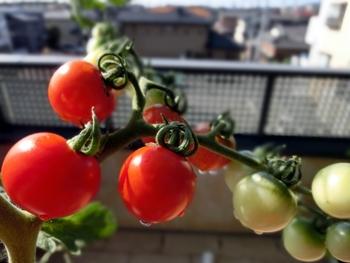 窓際やベランダでプチトマトを育てるのも◎  色づき収穫するのが待ち遠しいですね!日当たりのいい窓辺は水栽培のベストポジション。