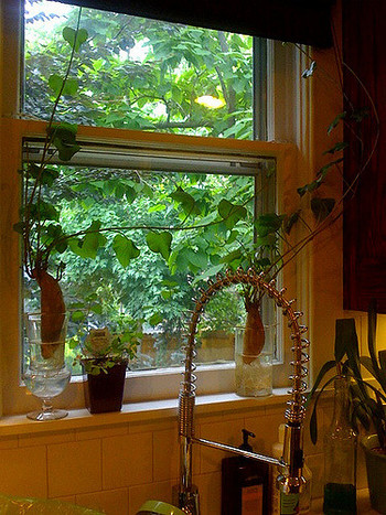 ハート型が可愛いのは、サツマイモの葉っぱです。この茎の部分、キンピラにして食べると意外に美味しいって知ってましたか?
