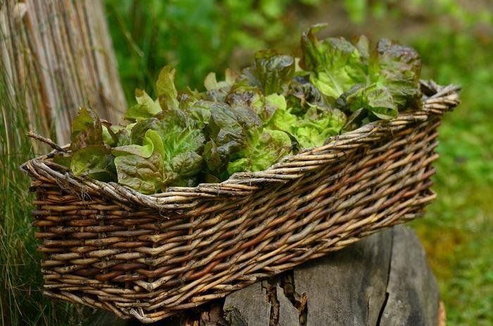 なんとレタスも!株元を葉をとってから水栽培します。ちょっとしたつけあわせに必要なとき、とっても重宝しそうですね。