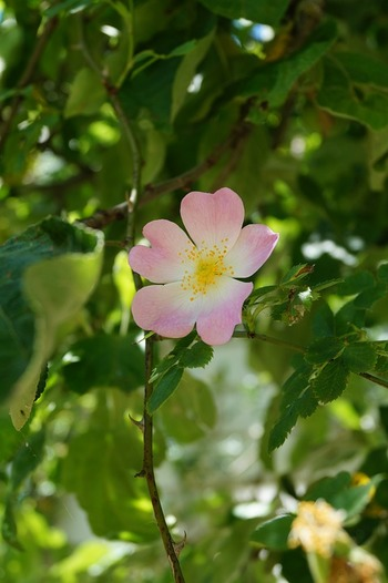 ヨーロッパを主な原産地とする「ドッグローズ」です。高さ3mぐらいの半ツル性のバラで、5月頃4~5㎝の甘い香りのする一重の小さな花をたくさんつけます。  別名「ロサ・カニナ」「ワイルドローズ」「イヌノイバラ」