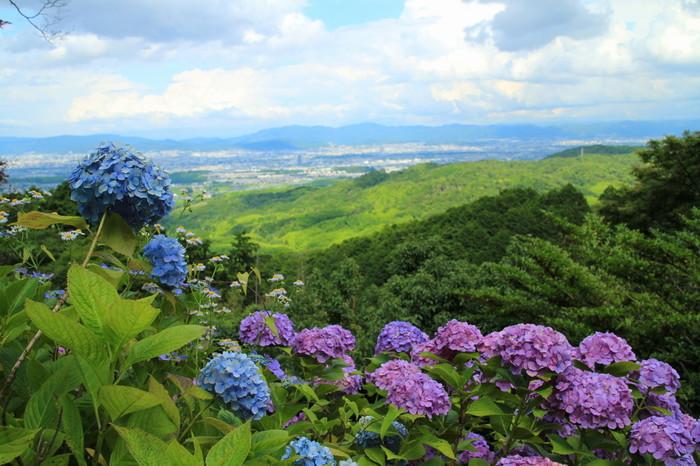 「白山あじさい苑」の一番の眺めは、紫陽花越しに広がる京都市街のパノラマ。京都市街を一望出来るだけでなく、遠く比叡山まで見渡すこともできます。「善峯寺」の紫陽花の見頃は、例年6月中旬から7月中旬頃です。