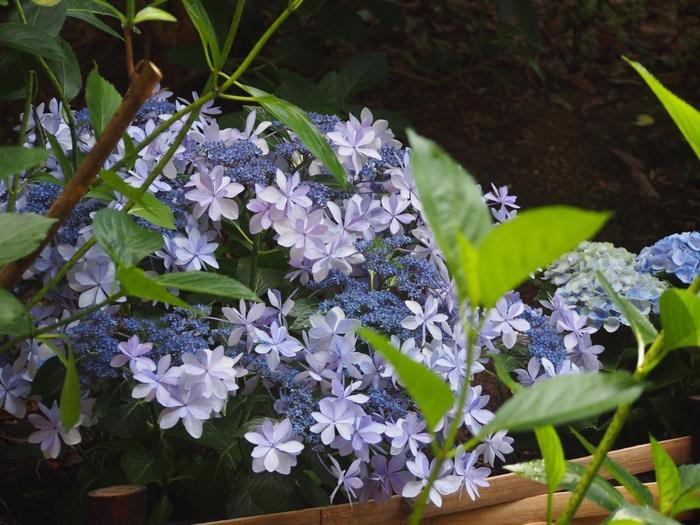 見晴らしが良い参道に咲く紫陽花は、種類も様々。草木の緑と紫陽花が織りなす景色は、実に爽快です。