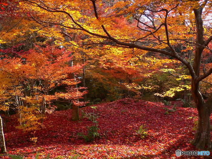 【「宝筐院」の木漏れ日に輝く紅葉の絨毯。】