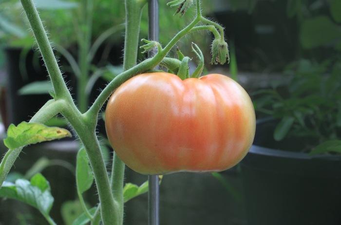 現在公開中のこの映画には、食そのものの大切さ、自然の恵みが表現されています。 自分で育てたトマトのもぎたての味は、どんな料理よりも贅沢かも知れませんね。(写真はイメージ)