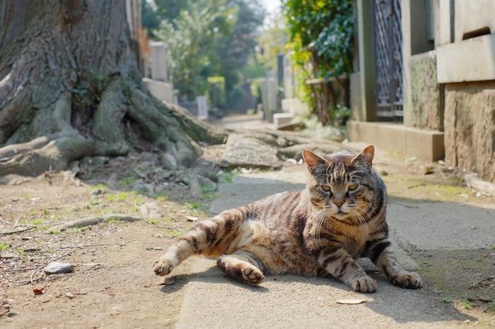 徳川慶喜も眠る谷中霊園。ここでも猫がよく寝ています。