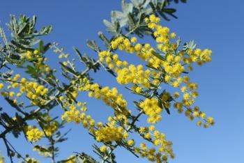 葉が銀灰色をしているものは「銀葉(ぎんよう)アカシア」と呼ばれています。 「Acacia(アカシア)」は、ギリシャ語の「Akazo(とげのある、鋭い)」が語源です。花の形状に由来しています。