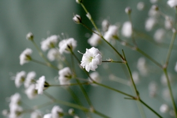 かすみ草はドライフラワー入門に最適な花なんです♪吊るしてももちろんできるんですが、ふんわり丸い形を維持したいならドライインウォーター法がおすすめ。水がなくなっても花瓶に挿し続けておくだけでOKです◎