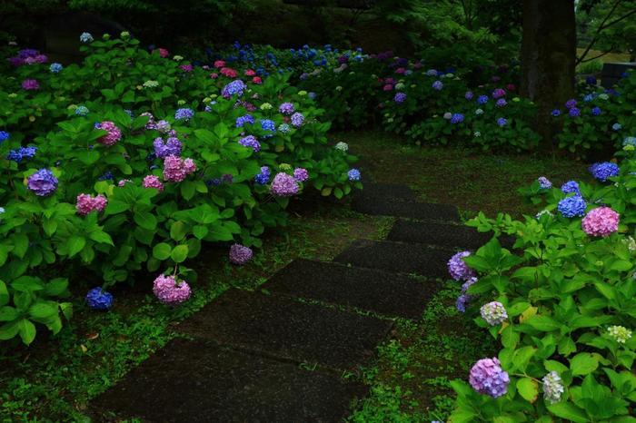 紫陽花の花景色が眺められるのは、本堂(金堂)周辺から墓地にかけての一帯。色とりどりの紫陽花が咲き乱れます。