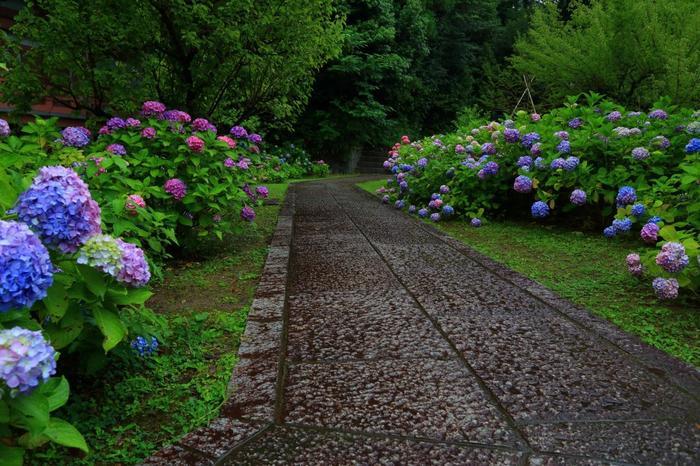 また花の名所としても良く知られ、梅や桜、木蓮やツツジ、桔梗等などが季節に応じて咲き開きますが、中でも「智積院」の紫陽花は、特に有名です。