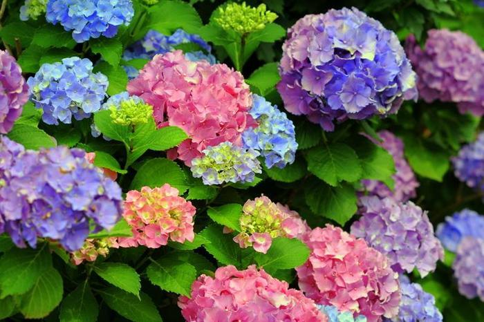 桜の名所として親しまれていますが、近隣の篤志の方々によって育てられている紫陽花も愛らしいと人気です。 他の名所とは比較にならない程の規模ですが、緑に染まる散歩道に冴え冴えと紫陽花が咲き開いているのは、格別な花景色です。