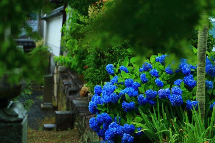 青もみじ、紅葉が有名な「真如堂」ですが、紫陽花の隠れた名所として知られています。「哲学の道」から徒歩圏内ですので、梅雨の頃に、東山散策をするのなら立ち寄ってみましょう。【画像は「真如堂」の塔頭寺院の一つ「法輪院」近くに咲く紫陽花。】