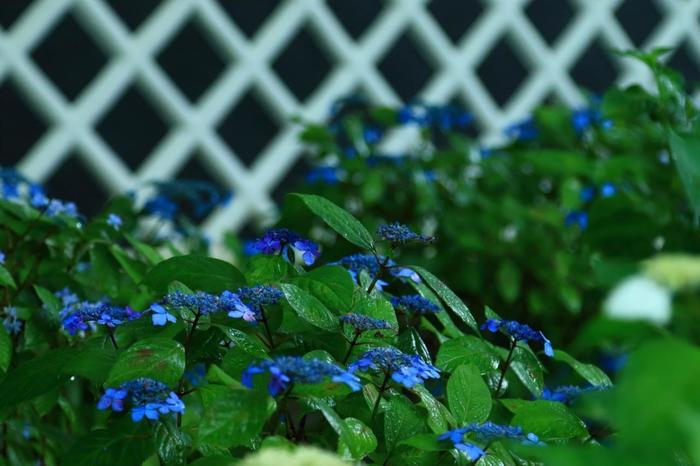 他の名所程の規模ではありませんが、梅雨の頃になると、境内のここそこで紫陽花が花開きます。