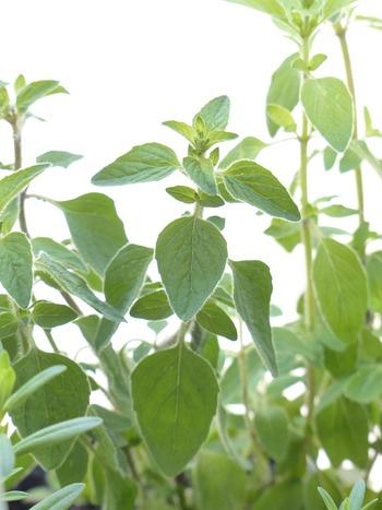 乾燥していて日当たり・風通しが良いところに置けば、より手間がかからず元気に育ちます。開花直前のものを刈り取り、陰干しした後にもみほぐすと使いやすい状態に!