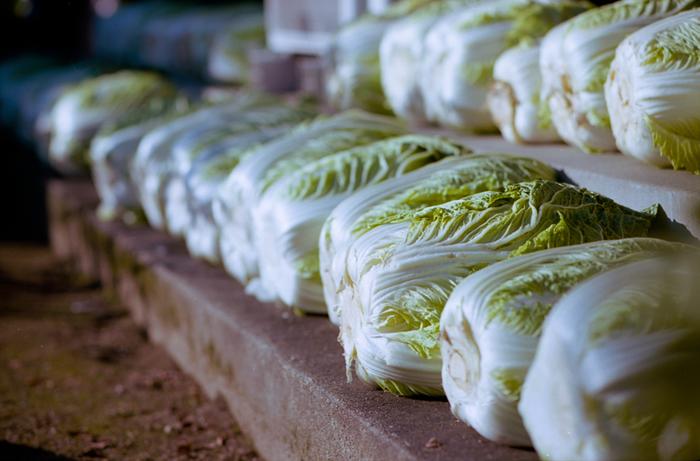 冬になると温かい鍋料理やスープが恋しくなりますよね。そんなときに欠かせない食材なのが「白菜」。霜が降りる頃、晩秋から冬の間が白菜の旬です。調理法次第で主役にも脇役にもなり、甘みがあってくせのない味は他の食材と合わせやすく、お子様の離乳食や食欲がないときにもおすすめです。