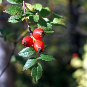 ほかにも、ローズヒップにはビタミンP、ビタミンEなどが含まれていることがわかっています。小さな果実に栄養がいっぱい詰まっているんですね。