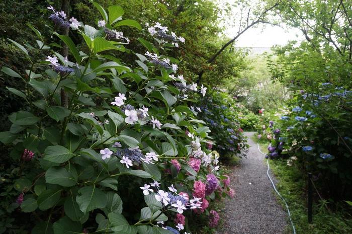 「梅宮大社」の紫陽花も名高く、梅に匹敵するほどの素晴らしさです。