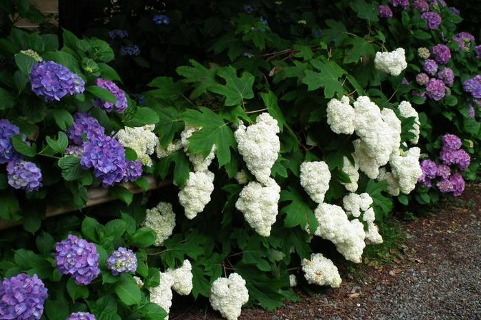 「梅宮大社」では、新品種の紫陽花も積極的に植えられ、色とりどり。その数60種にも及び、500株もの紫陽花が植えられています。【神苑内の「西洋アジサイ」と「柏葉アジサイ」】