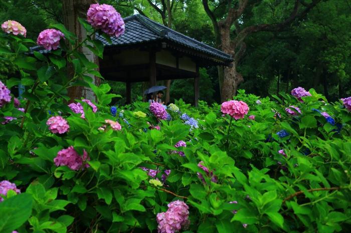 """""""学問の神様""""と""""馬の神様""""として信仰される「藤森神社」は、平安遷都以前から当地に鎮座する古社。紫陽花の名所としても良く知られ、季節になると紫陽花で埋め尽くされる「紫陽花苑」が一般に公開されます。"""