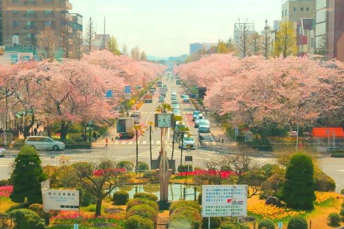 国立駅の駅前から一橋大学やJR南武線の谷保駅へと続く、国立市大学通りの桜が有名で、桜時には大勢の人が訪れ街がにぎわいます。