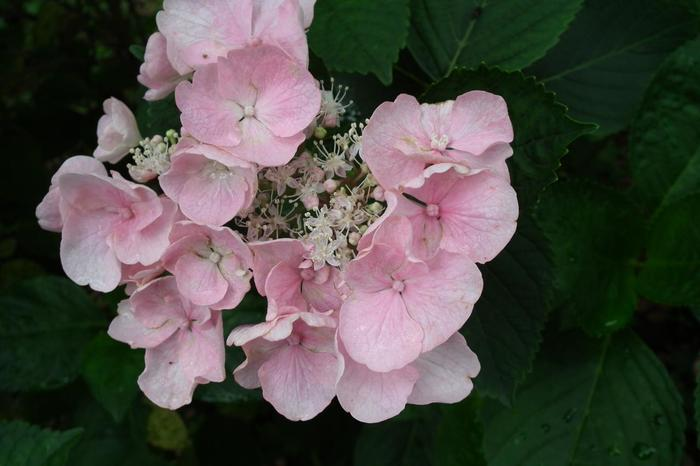 世界中で愛される花の一つ「紫陽花」。原産地は、ここ日本です。 紫陽花は、大まかに「ガクアジサイ」と「西洋アジサイ」の分けられますが、日本の山野に自生していた「ガクアジサイ」が、世界各地へと伝わり、品種改良が重ねられて現在に至っています。現在の総品種は、数限りないほどに多く、3千を下らないとも云われています。 【画像は、梅宮大社の「ガクアジサイ」の一種。ガクアジサイとは、額縁のように中心部の花を飾ることから付いた名です。】