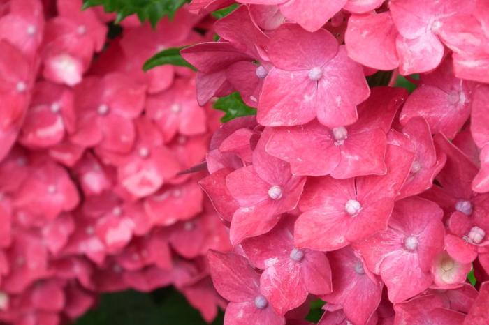 アジサイは、代表的な「装飾花」です。一見花びらに見えるのは、萼片(ガクヘン)といわれるもので、人工的な品種改良によって、萼片が肥大化し、中心部の花の部分を装飾しています。ガクアジサイは、中央部に花があり、周辺部が装飾花。西洋アジサイは、全てが装飾花になっています。【画像は、梅宮大社の「西洋アジサイ」。】