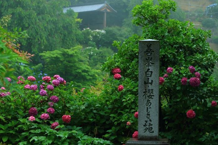 「善峯寺」は、観音霊場として名高く、また樹齢約600年の国の天然記念物「遊龍の松」や、桜や紅葉の名所としても有名ですが、関西屈指の「紫陽花の名所」としても良く知られています。