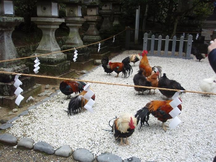 石神神宮では、御神鶏として東天紅鶏、烏骨鶏など多数の鶏が境内で飼育されています。