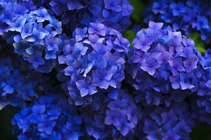 朝露に濡れる紫陽花も、大原の風景の中、見入ってしまう美しさのはず。